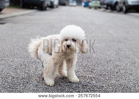 Poodle Dog Pooping Defecate On Center Of Street