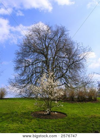 Two Trees In England