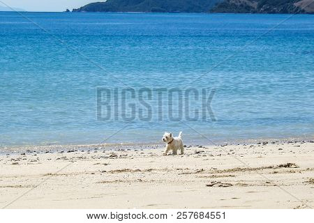 Beach Dog: West Highland White Terrier Westie Walking Off-leash On Sandy Beach Next To Blue Sea In S