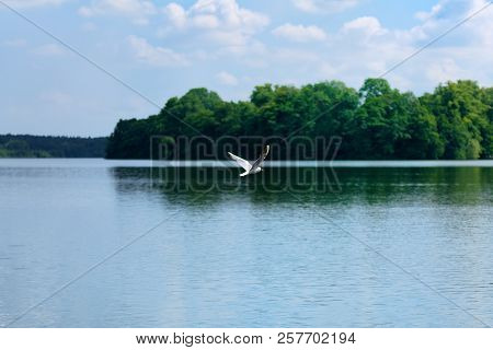Nature Scene Of Seagull Flying Over The Water Of A Lake. Ploen, Germany