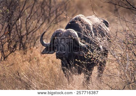 Buffalo (syncerus Caffer), Kruger National Park, Mpumalanga, South Africa