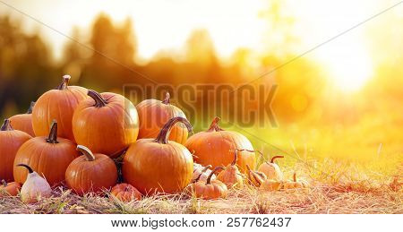 Thanksgiving - Ripe Pumpkins In Field At Sunset