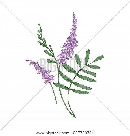 Liquorice Flowers Isolated On White Background. Realistic Drawing Of Aromatic Flowering Herb, Wild H