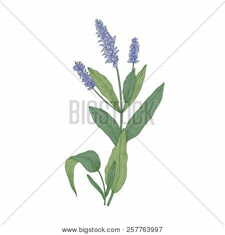 Salvia Flowers Or Sage Inflorescences Isolated On White Background. Gorgeous Drawing Of Wild Meadow