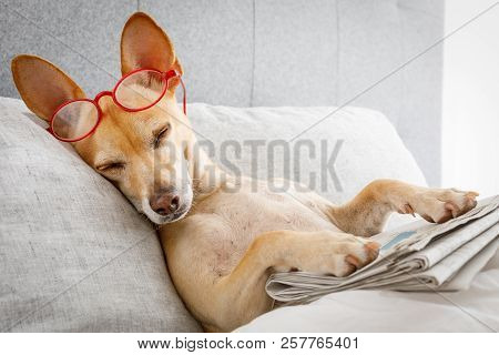 Dog In Bed Resting Or Sleeping , With Newspaper , Dreaming In Bedroom Under The Blanket , Very Tired