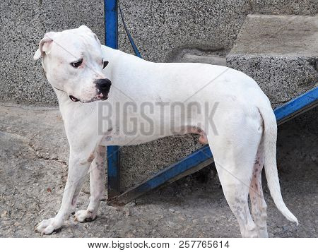Large White Dog Is Sad, It Is Waiting For Its Owner To Leave The Store