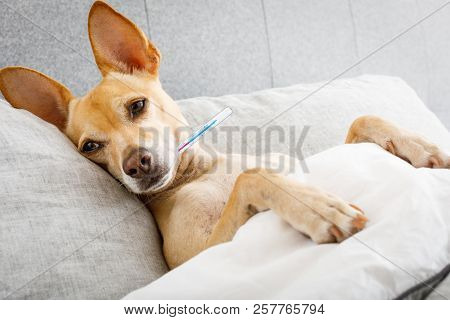 Sick Ill Chihuahua Dog In Bed With Thermometer , Fever And Temperature With  A Cold And Flu