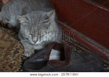A Big Gray Cat Is Sleeping By A Brown Slipper On The Floor In The Room