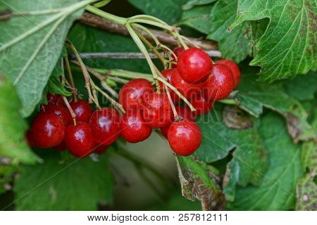 Bunches Of Red Viburnum Berries On A Branch With Green Leaves On A Bush In The Garden