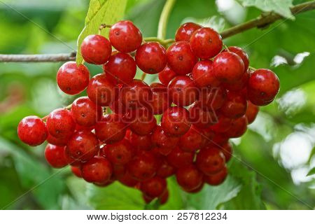 Red Berries Of A Viburnum On A Branch With Green Leaves