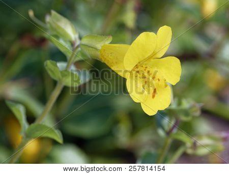 Monkey Flower - Mimulus Guttatus  Yellow Flower Found In Scottish Highlands