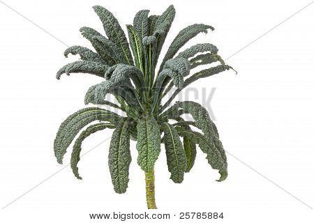 Cavolo Nero Cabbage