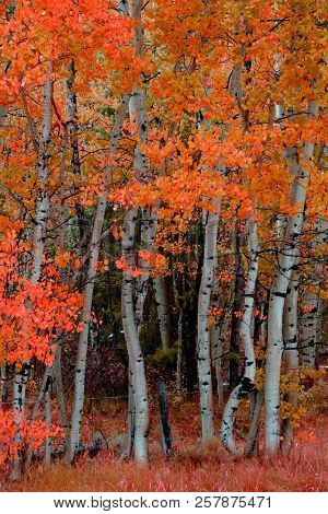 Birch aspen trees in autumn fall forest wilderness