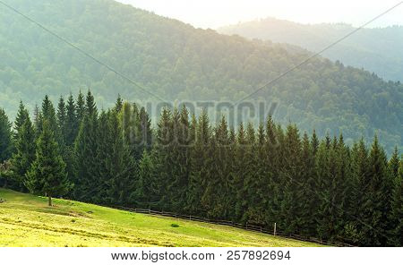 Coniferous Pine Forest In The Carpathian Mountains