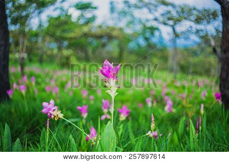 Siam Tulip  Flower Blossom On Pa Hin Ngam National Park At Chaiyaphum Province
