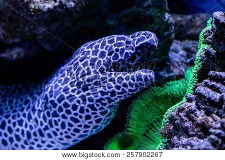 Beautiful Leopard Moray Eel Fish Close Up