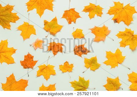 Autumn background. Seasonal autumn maple leaves on the white background. Autumn composition with autumn maple leaves. Autumn leaves background