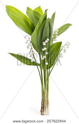 Beautiful Bouquet Of Lilies Of The Valley Flowers, Convallaria Majalis, With Green Leaves Isolated O