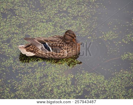 Wild Ducks Swim In The Pond. The Pond Is Heavily Overgrown With Algae.