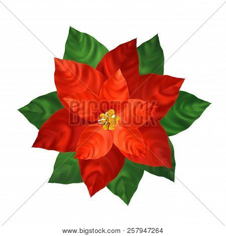 Red Poinsettia Flower Vector Photo Free Trial Bigstock
