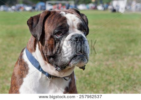 Brindle boxer puppy is sitting in the green grass. Pet animals. poster