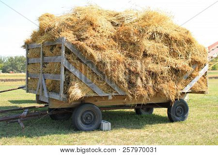 A Fully Loaded Horse Drawn Hay Rack With Bundles Of Grain  Waiting To Be Run Though The Threshing Ma