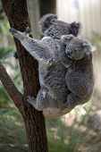 the joey koala is riding on his mothers back while she climbs a tree poster