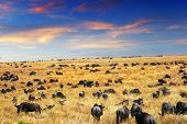 Evening time in the savannahwildebeest antelopes in the Masai Mara national park Kenya poster