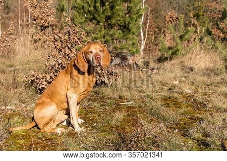 Hungarian Pointer (vizsla) In The Forest. Training Of Hunting Dogs. Spring Walk In Nature. Morning S