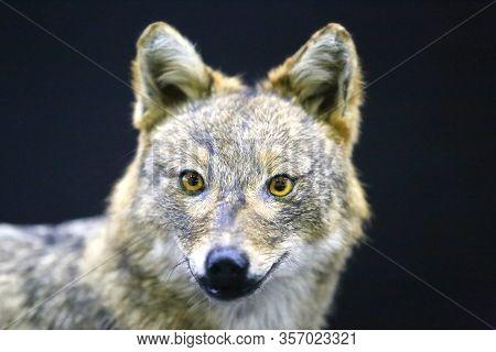Head Of Golden Jackal Wild Dog Canis Aureus, On Black Background