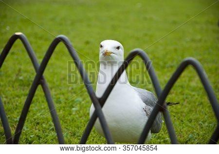 Single Seagull Bird Standing In Grass. White Bird Seagull. Gull Walk In Italy Park. Beautiful And Fu