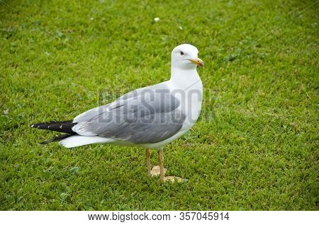 Seagull Portrait Against Green Grass. Gull Walk In Italy Park. Beautiful And Funny Seagull On Green