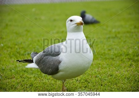 Gull In Italy Park. Beautiful And Funny Seagull On Green Grass. Summer, A Small Gull Standing. Close