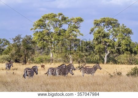 Small Herd Of Plains Zebra In Savannah In Kruger National Park, South Africa ; Specie Equus Quagga B