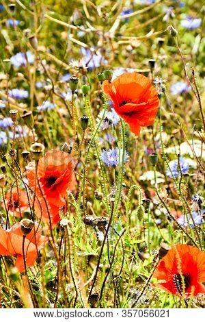 Poppy Flowers In A Field In Northern Germany