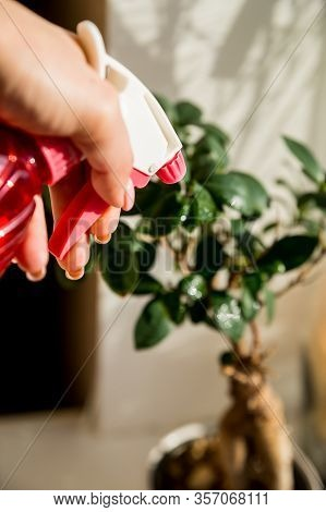 Hand Spraying Houseplants With A Spray Bottle.plant And Water Spray Beside Window Splashed By Sunlig