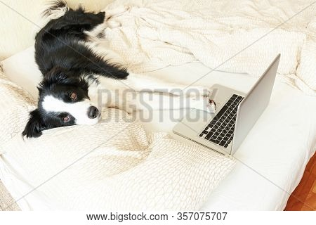 Mobile Office At Home. Funny Portrait Cute Puppy Dog Border Collie On Bed Working Surfing Browsing I