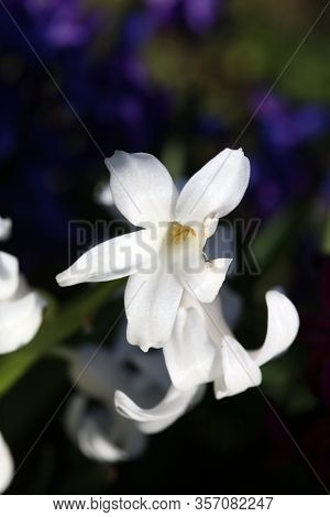 Hyacinthus Orientalis Flower Macro Background High Quality Fifty Megapixels Modern Prints Asparagace