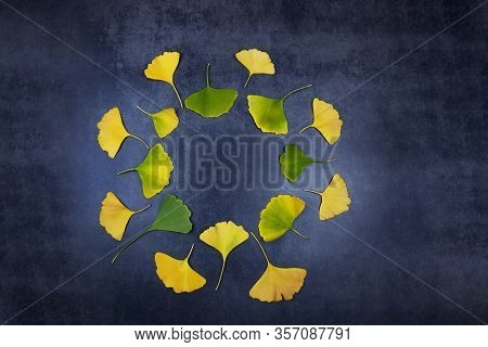 Healing Yellow And Green Leaves Of Ginko Biloba In A Circle On A Dark Background. Ginko Leaves For M