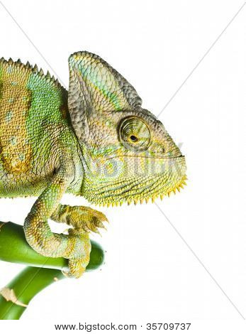chameleon on a bamboo. isolation on white