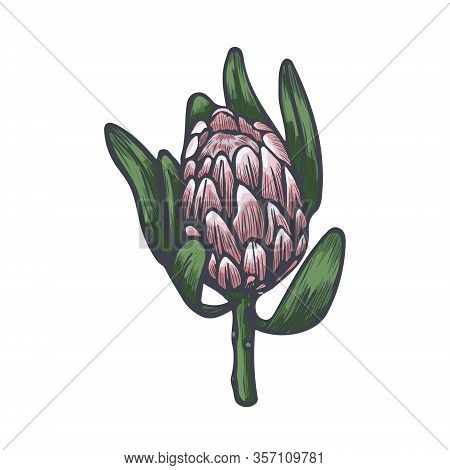 Protea Head Hand Drawn Vector Sketch. Exotic Protea Flower Isolated On White Background.