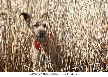 Funny Happy Dog Travels Across . She Hid In The Dry Grass And Looks Aside, She Hunts Ducks