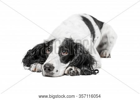 Black And White Spaniel Pedigree Dog Lying On The Floor With A Very Sad Look, Isolated Background