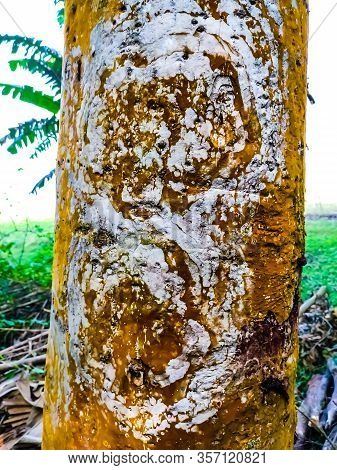 This Is The Bark Of The Terminalia Arjuna, Is A Tree Of Genus Terminalia. It Is Commonly Known As Ar