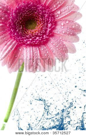 Flower Gerbera and water splash