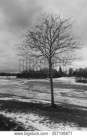 A Bare Tree Stands Alone By The Icy River At The Northern Finland. The Springtime Is Coming, But The