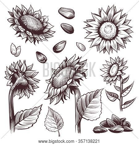 Sketch Sunflowers. Monochrome Floral Wildflower Design, Sunflower Seed And Leaves, Label Elements Gr