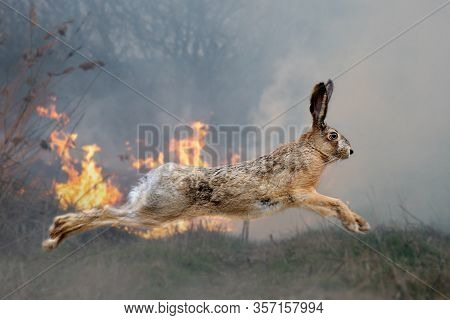 Hare On A Background Of Burning Forest. Wild Animal In The Midst Of Fire And Smoke