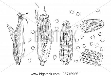 Corn Sketch. Sweet Botanical Plant. Isolated Vintage Healthy Corns, Hand Drawn Cobs And Grains. Farm