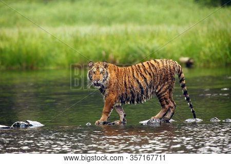 The Siberian Tiger (panthera Tigris Tigris),also Called Amur Tiger (panthera Tigris Altaica) In The
